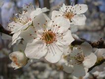 Flores del árbol de mora Foto de archivo
