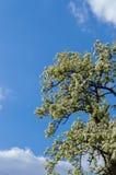 Flores del árbol de pera Fotos de archivo libres de regalías