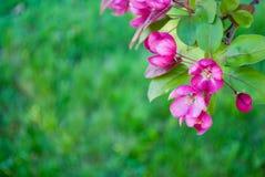 Flores del árbol de Redbud fotografía de archivo libre de regalías