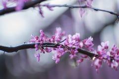 Flores del árbol de Redbud Foto de archivo libre de regalías