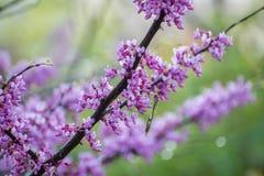 Flores del árbol de Redbud Imágenes de archivo libres de regalías