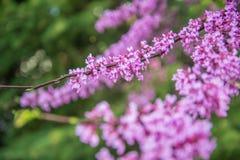 Flores del árbol de Redbud Imagenes de archivo