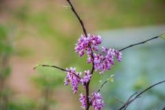 Flores del árbol de Redbud Fotos de archivo