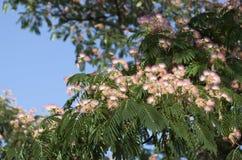 Flores del árbol de seda Imagenes de archivo