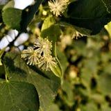 Flores del árbol de tilo fotos de archivo libres de regalías