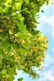 Flores del árbol de tilo Imagen de archivo