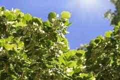 Flores del árbol de tilo Fotos de archivo