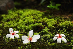 Flores del árbol de Tung fotos de archivo libres de regalías