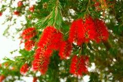 Flores del árbol del bottlebrush Imagen de archivo libre de regalías