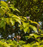 Flores del árbol del lápiz labial (orellana de Bixa) Fotos de archivo