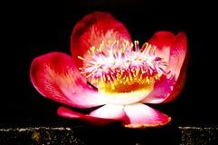 Flores del árbol del obús Imágenes de archivo libres de regalías