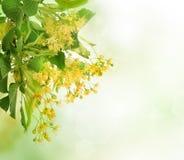 Flores del árbol del tilo Fotos de archivo libres de regalías