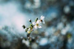 Flores del árbol frutal Fondo del principio de la primavera Bokeh Foto de archivo libre de regalías