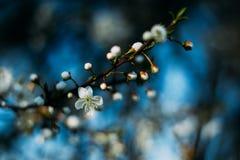 Flores del árbol frutal Fondo del principio de la primavera Bokeh Imagen de archivo libre de regalías