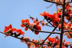 Flores del árbol rojo del algodón de seda Foto de archivo libre de regalías