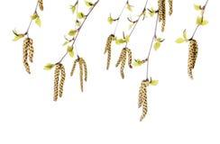Flores del abedul Foto de archivo libre de regalías