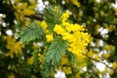 Flores del acacia Foto de archivo libre de regalías