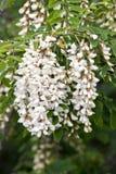 Flores del acacia Foto de archivo