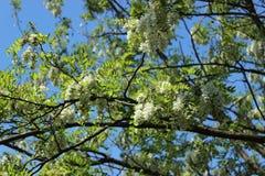 Flores del acacia Imagen de archivo