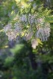 Flores del acacia en luz del sol Foto de archivo libre de regalías