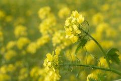 Flores del aceite de rabina, napus de la brassica Imagenes de archivo