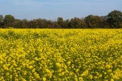 Flores del aceite de rabina, napus de la brassica Foto de archivo