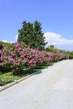 Flores del adelfa Imagen de archivo libre de regalías