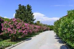 Flores del adelfa Foto de archivo libre de regalías