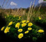 Flores del Adonis Fotografía de archivo