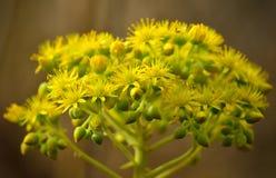 Flores del aeonium Fotografía de archivo libre de regalías