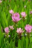 Flores del aeruqinosa de la cúrcuma Foto de archivo libre de regalías