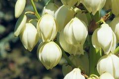 Flores del agavo Fotografía de archivo libre de regalías