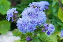 Flores del Ageratum azul Fotografía de archivo libre de regalías