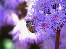 Flores del Ageratum con la abeja fotos de archivo