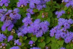 Flores del Ageratum en el macizo de flores foto de archivo
