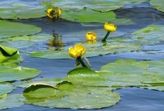 Flores del agua Fotos de archivo libres de regalías
