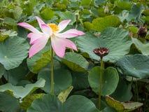 Flores del agua en los jardines del agua de Vaipahi, Tahití, Polinesia francesa Imágenes de archivo libres de regalías