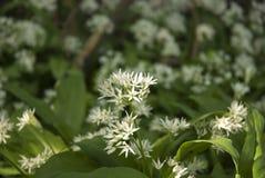 Flores del ajo Foto de archivo libre de regalías