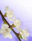 Flores del albaricoque fotografía de archivo