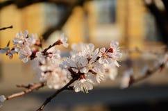 Flores del albaricoque fotos de archivo