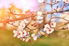 Flores del albaricoque, cierre para arriba imágenes de archivo libres de regalías