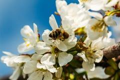 Flores del albaricoque con la abeja Imágenes de archivo libres de regalías