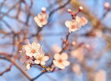 Flores del albaricoque en fondo del cielo azul foto de archivo