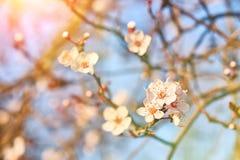 Flores del albaricoque en luz del sol de la primavera Foco suave imagenes de archivo
