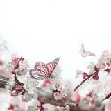 Flores del albaricoque en primavera Imagen de archivo libre de regalías