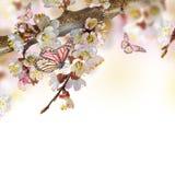 Flores del albaricoque en primavera Fotografía de archivo