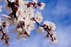 Flores del albaricoque en un cielo del fondo Foto de archivo