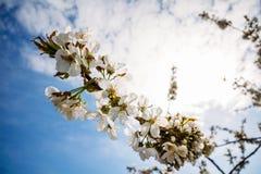 Flores del albaricoque en una rama en la floración Fotografía de archivo libre de regalías