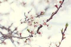 Flores del albaricoquero Imagen de archivo libre de regalías