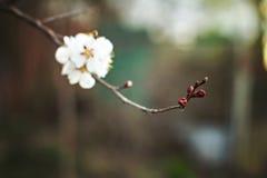 Flores del albaricoquero Foto de archivo